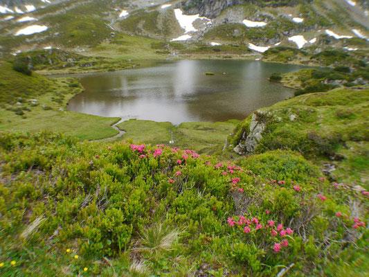 Siegfried Bamschabl - Almrauschblüte in den Tauern
