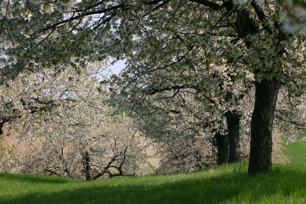 Horvath Josef, Kirschblüte bei Mattersburg