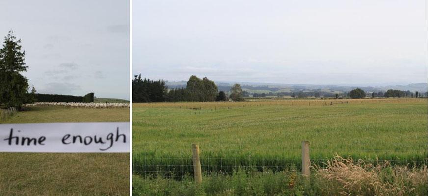 Schafweide bei Moneymore (Neuseeland)