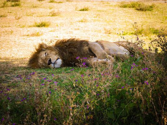 Lion parmi les fleurs