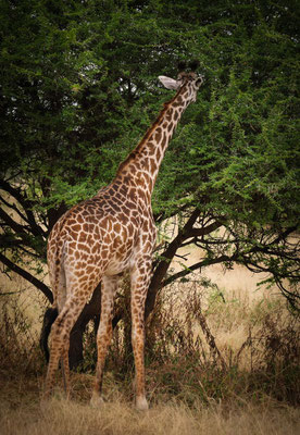 Girafe mangeant sur l'arbre