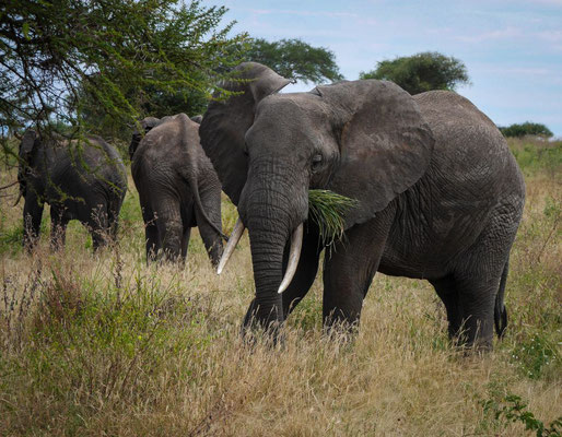 Le repas des éléphants
