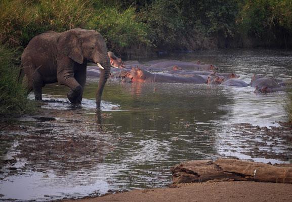 Avec les hippopotames