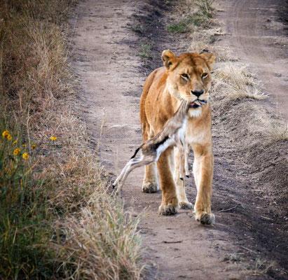 La lionne va nourrir ses petits