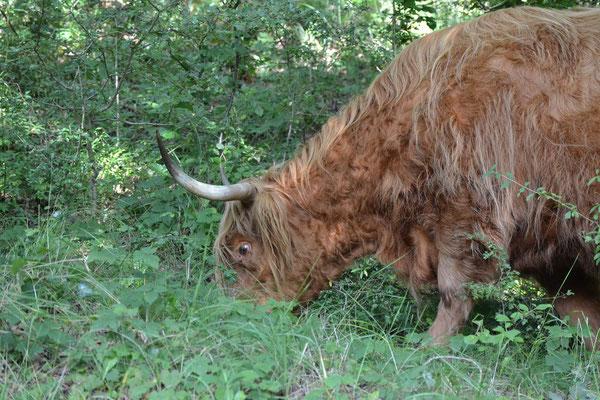 Schotse Hooglander tijdens een wandeling in de Kennemerduinen