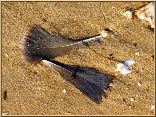 """Plumes de cormoran sur la plage du """"Mimbeau"""" (Cap Ferret)"""