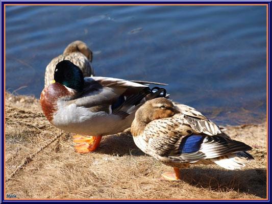 Canards au repos au bord du bassin du Parc de la Chêneraie à Gujan-Mestras (Bassin d'Arcachon)
