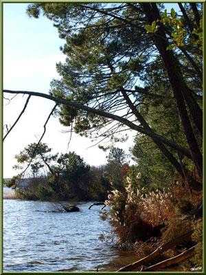 Pins et roseaux en bord de rive du Lac de Cazaux (La Teste de Buch, Bassin d'Arcachon)