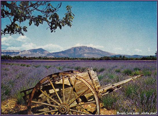 Chareton dans un champ de lavande (carte postale, collection privée)