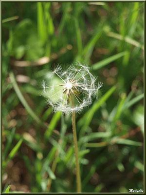 Attention : souffler n'est pas jouer ! Akène de Pissenlit semi-dénudé, flore Bassin d'Arcachon (33)