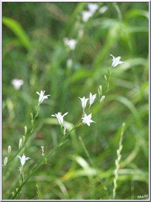 Fleurettes blanches dans un pré