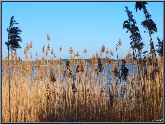 Derrière les roseaux, le Lac de Sanguinet (Landes)