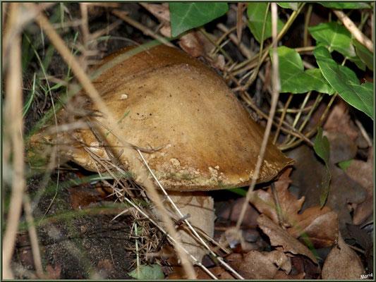 Cèpe de Bordeaux ou Bolet en forêt sur le Bassin d'Arcachon