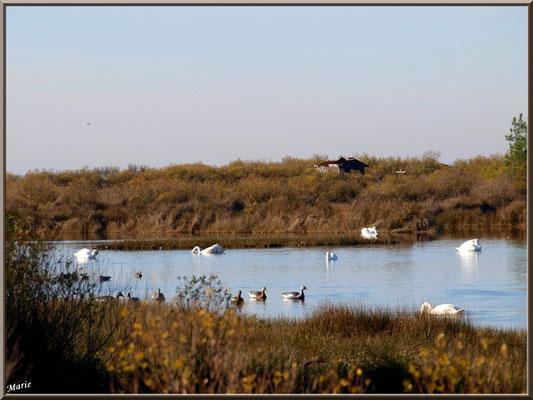 Cygnes et canards dans un réservoir sur le Sentier du Littoral, secteur Moulin de Cantarrane, Bassin d'Arcachon