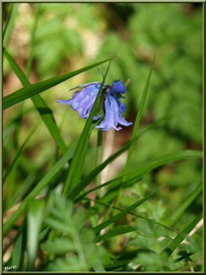 Jacinthe des Bois, flore sur le Bassin d'Arcachon (33)