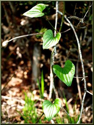 """Feuilles de Tamier ou """"raspounchou"""" ou Herbe aux femmes battues, flore sur le Bassin d'Arcachon (33)"""