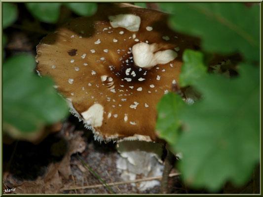 Amanite Panthère en forêt sur le Bassin d'Arcachon, bien cachée