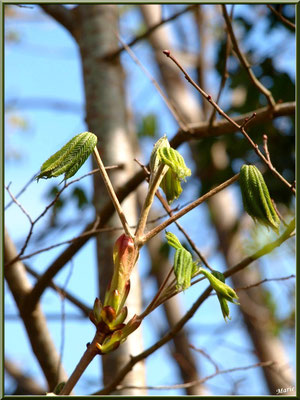 C'est le printemps, les bourgeons du Marronnier d'Inde ou Marronnier Commun libèrent leurs feuilles, flore Bassin d'Arcachon (33)