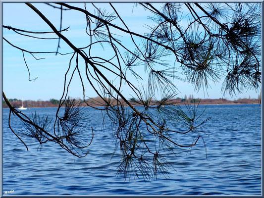 Branche de pin en bord de rive du Lac de Cazaux (La Teste de Buch, Bassin d'Arcachon)