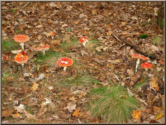 Amanites Tue-mouches, en ribambelle, en forêt sur le Bassin d'Arcachon