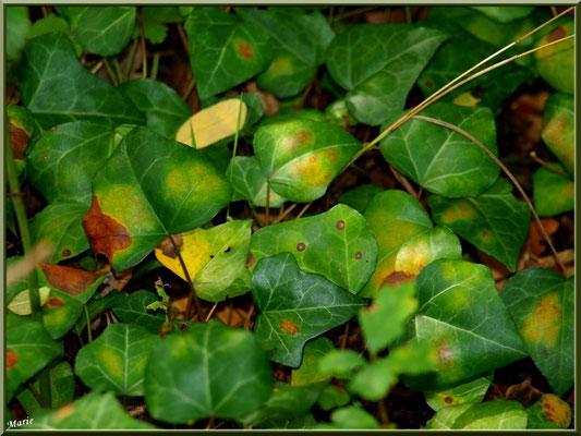 Feuilles de Lierre en début d'automne, flore Bassin d'Arcachon (33)