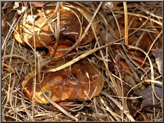 Bolets à pied rouge en forêt sur le Bassin d'Arcachon, bien cachés