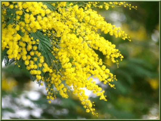 Mimosas en fleurs (très couleur locale de la région), village de L'Herbe, Bassin d'Arcachon (33)