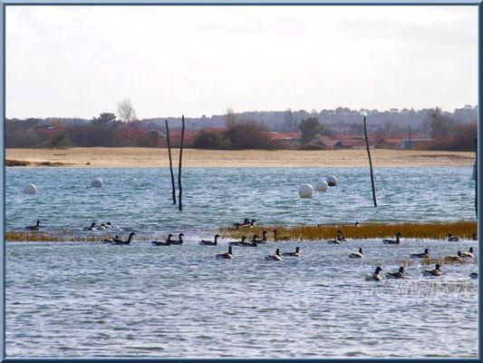 """Arcachon, """"Ville d'Automne"""" et son petit port de l'Aiguillon, bernaches sur le Bassin avec en face plage port du Rocher de La Teste"""