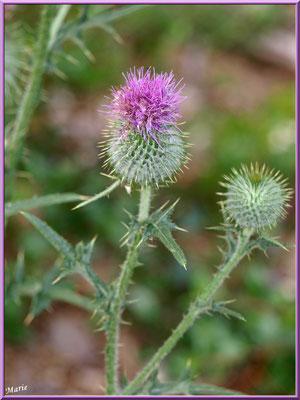 Fleurs de chardon dans la garrigue des Alpilles (Bouche du Rhône)