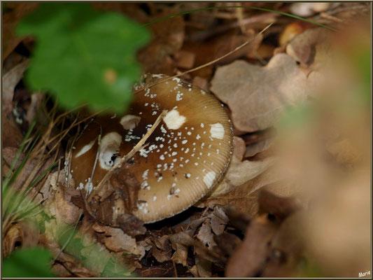 Amanite Panthère en forêt sur le Bassin d'Arcachon