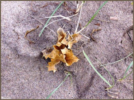 Panicaut Maritime ou Chardon des Sables asséché en hiver, flore Bassin d'Arcachon (33)