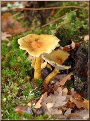 Hypholomes en Touffe épanouis en forêt sur le Bassin d'Arcachon