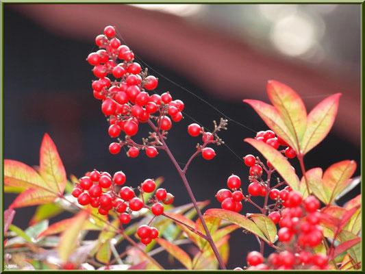 Arbuste à baies rouges au Moulleau à Arcachon (au mois de janvier)