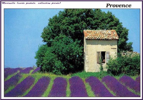 Mazet dans un champ de lavande (carte postale, collection privée)