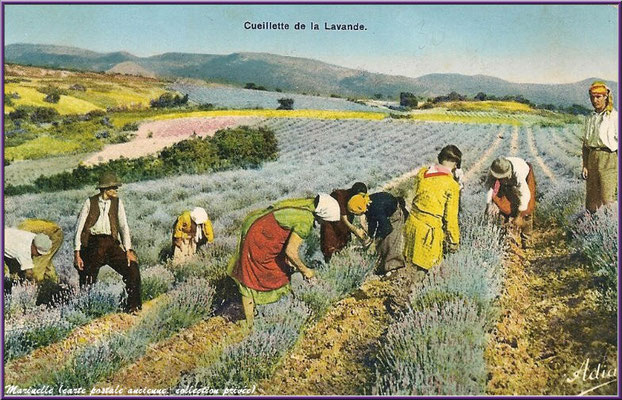 Cueillette de la lavande (carte postale ancienne, collection privée)