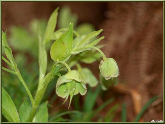 Hellébore fétide ou Rose de Noël ou Ellébore ou Herbe aux fous ou Rose de Carême, flore Bassin d'Arcachon (33)