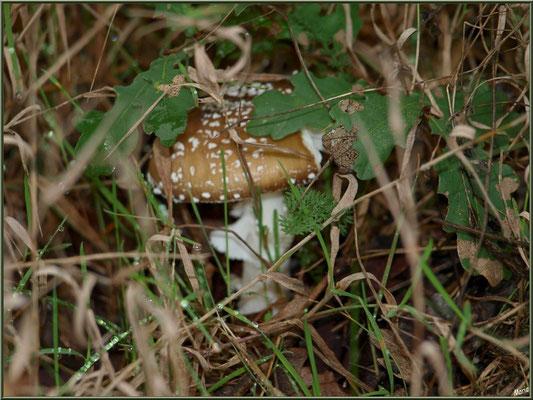 Amanite Panthère cachée en forêt sur le Bassin d'Arcachon
