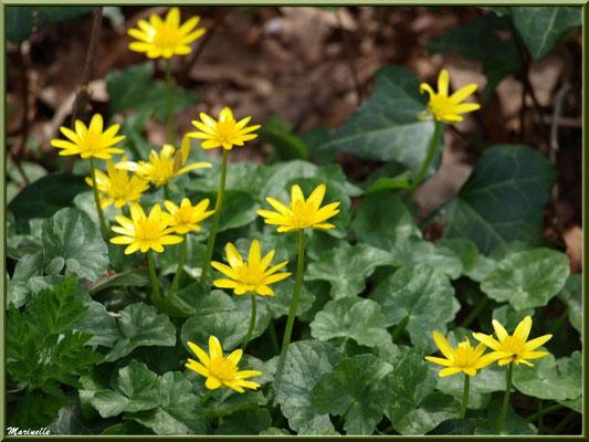 Boutons d'Or ou Renoncules Rampantes ou Pieds de Poule, flore sur le Bassin d'Arcachon (33)