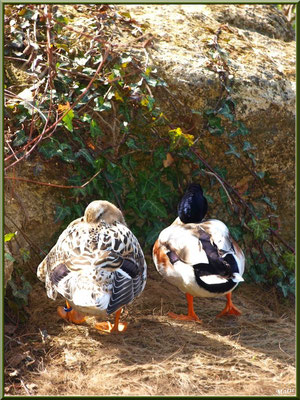 Mr et Mme Canards au Parc de la Chêneraie à Gujan-Mestras (Bassin d'Arcachon)