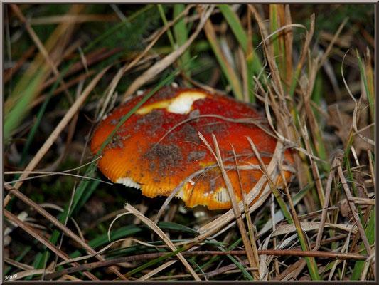 Amanite Tue-mouches en forêt sur le Bassin d'Arcachon
