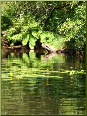 Nénuphars jaunes et reflets sur le Canal des Landes au Parc de la Chêneraie à Gujan-Mestras (Bassin d'Arcachon)