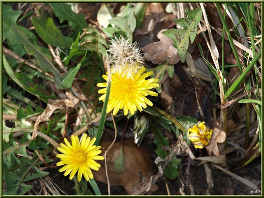 Pissenlits en fleur, bouton et akène, flore Bassin d'Arcachon (33)