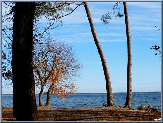 Pinède en bord de rive du Lac de Cazaux (La Teste de Buch, Bassin d'Arcachon)