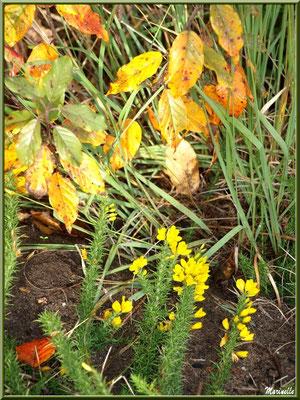 Méli mélo automnal : arbuste, ajonc en fleurs, forêt sur le Bassin d'Arcachon (33)
