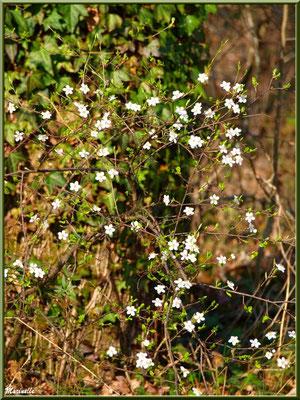 Arbrisseau et ses fleurs printanières au pied d'un chêne couvert de lierre, sur le sentier bordant La Leyre, Sentier du Littoral au lieu-dit Lamothe, Le Teich, Bassin d'Arcachon (33)