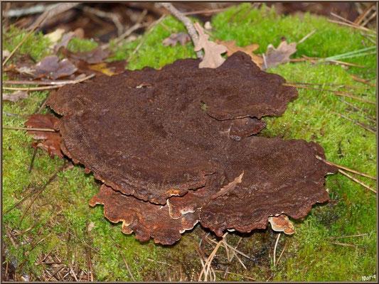 Phéole de Schweinitz, en fin de vie, en forêt du Bassin d'Arcachon