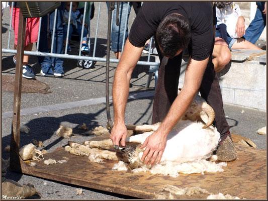 Démonstration de tonte de brebis, Fête au Fromage, Hera deu Hromatge, à Laruns en Vallée d'Ossau (64)