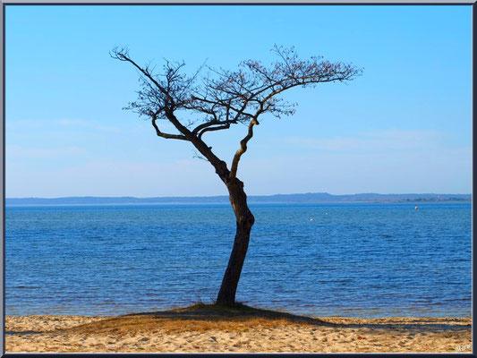 Aulne isolé en bord du Lac de Sanguinet (Landes)