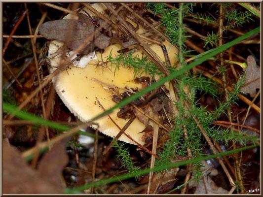 Amanite Phalloïde en forêt sur le Bassin d'Arcachon