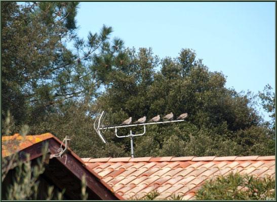 Silence ! Hirondelles à l'antenne ! (sur un toit du village ostréicole du Cap Ferret)